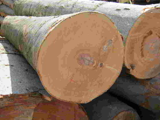 European OAK / ASH / BEECH / PINE / SPUCE / BIRCH Logs