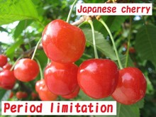 High quality and Flavorful fresh fruit Japanese cherry with Delicious made in Japan