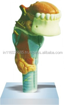 Larynx with Tongue and Teeth(3 parts)