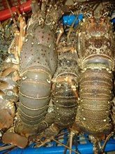 Live Canadian Lobsters (Homarus americanus)