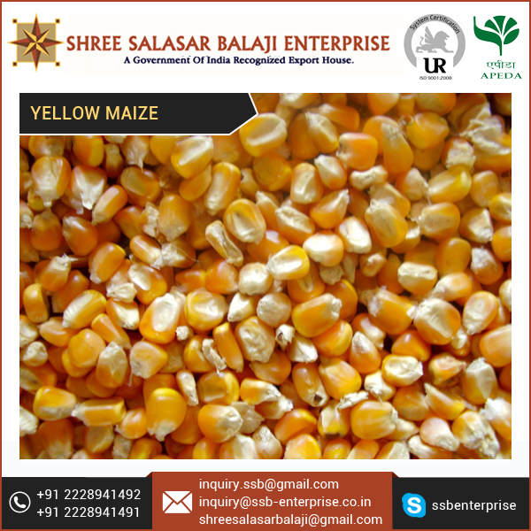 100% Cleaned Yellow Indian Maize for Human Consumption