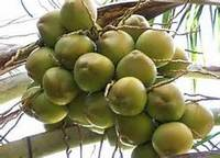 FRESH COCONUTS / GREEN YOUNG COCONUT FOR SALE
