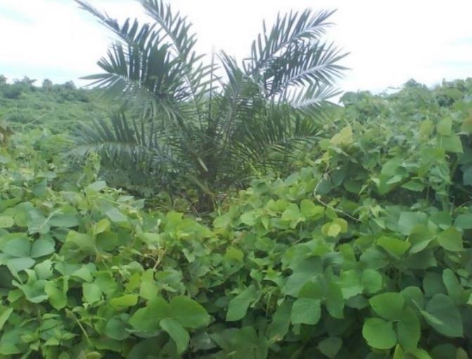 Most Pure and highly effective Tropical Legume Cover Crops