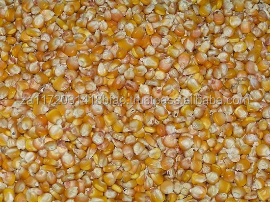 NON GMO WHITE/YELLOW MAIZE CORN IN BULK READY FOR SUPPLY
