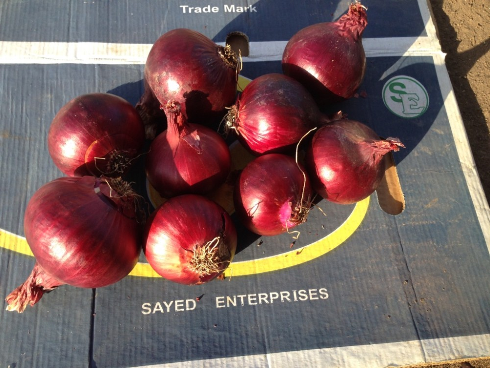 fresh onions \red onions ton price with high quality compatitive price