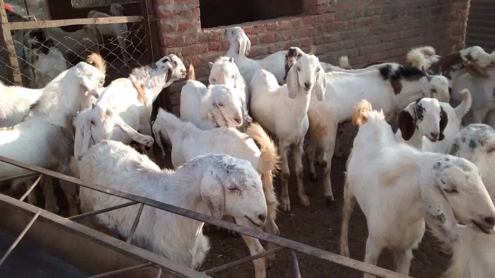 live sheeps for sale