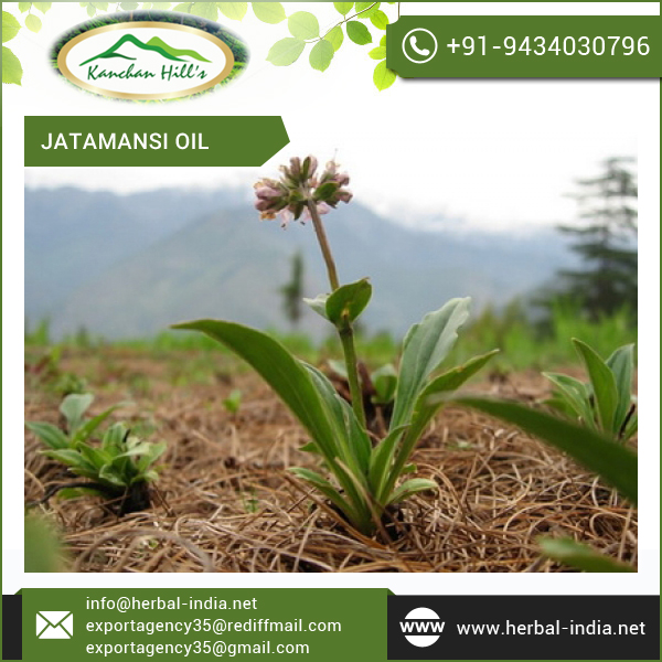 Jatamansi Oil with Zero Impurities