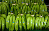 GRADE A FRESH GREEN CAVENDISH BANANAS