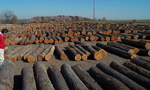 Pine Wood Logs. /Pine Wood Swan Lumber/Swan Timber