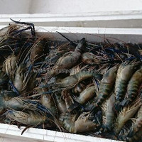 Fresh Tiger Prawn
