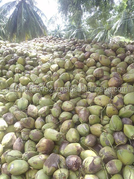 EXPORT MATURE\ GOOD QUALITY \BEST PRICE \ SEMI HUSKED COCONUT IN INDIA