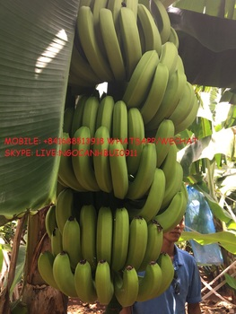 CHEAP PRICE GOOD QUALITY FRESH BANANA FOR EXPORT
