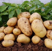 vegetable farms fresh potato made in Holland