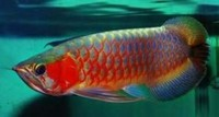 Quality and Affordable Koi, Arowanas, Pygo Pinrahas, Flowerhorn Fishes