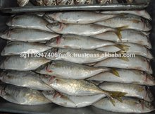Frozen Horse Mackerel, Pacific Mackerel, Tuna, Trout, Salmon, Bonito, Tilapia, Squid, barracuda fish.