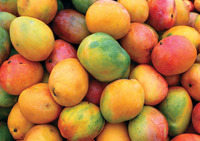 Fresh Mangoes/Alphonso Mangoes/New Harvest