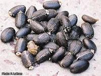 Offer for Jatropha Seeds