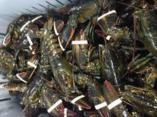 live spiny lobster for sale