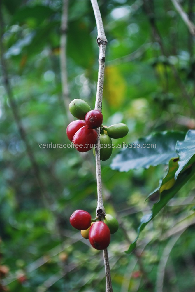 Ventura Flores Arabica Coffee