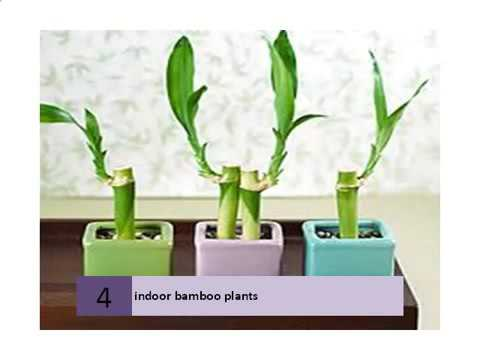 Cheap Lucky Plant Care Find Lucky Plant Care Deals On Line At