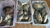 High Quality Seafood Product Red and Black Frozen Tilapia