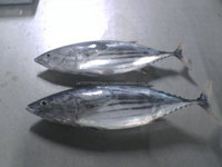 Frozen Tuna SkipJack Frozen Bonito Fish Fish , Fillets