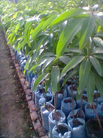 Mango Fruit Plants Nursery