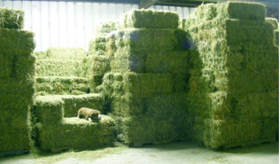 Quality Alfafa Hay for Sale