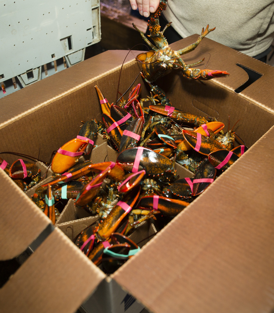 live candian lobster for export