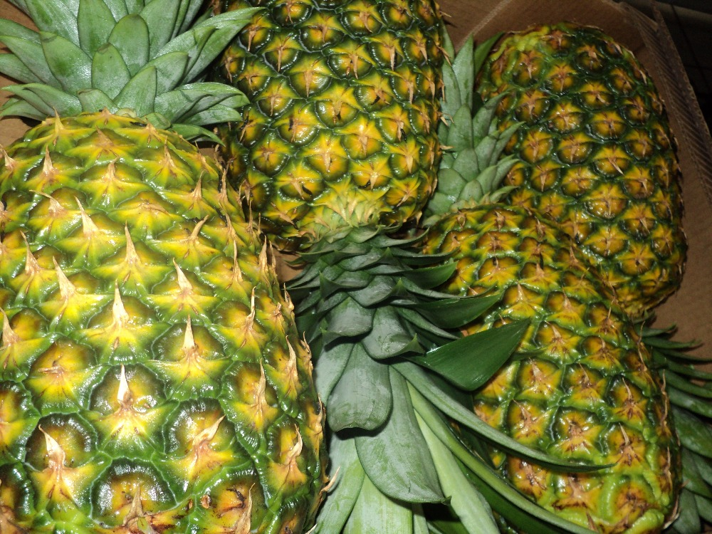 Extra Sweet gold pineapples MD2