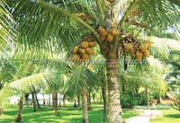 Fresh Coconuts exporters to Canada