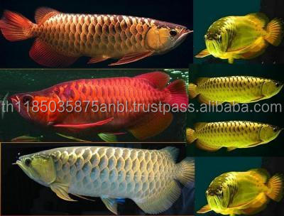 Original Asian Chili Red Arowana for sale (wholesales)