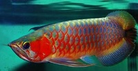 Superior quality Arowana Fish At Good Prices