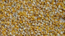 Yellow Powder Corn Gluten Meal pig feed/ Yellow Corn/Maize for Animal Feed