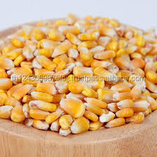 Fresh yellow corn animal feed