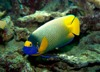 Yellow or Blue-Faced Angelfish (Pomacanthus xanthometopon)
