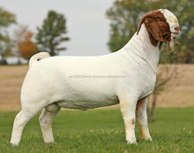 100% Full Blood Boer Goats, Live Sheep, Cattle, Lambs and Cows Ready for Export