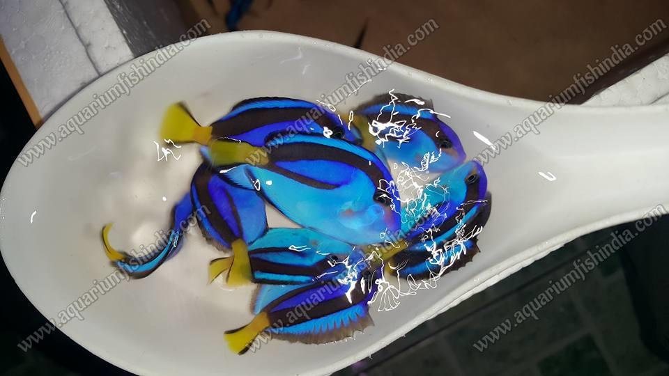 Acuario de peces marinos de peces marinos para la venta for Accesorios para acuarios marinos