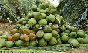 Farm Fresh Matured Coconut Trader To China