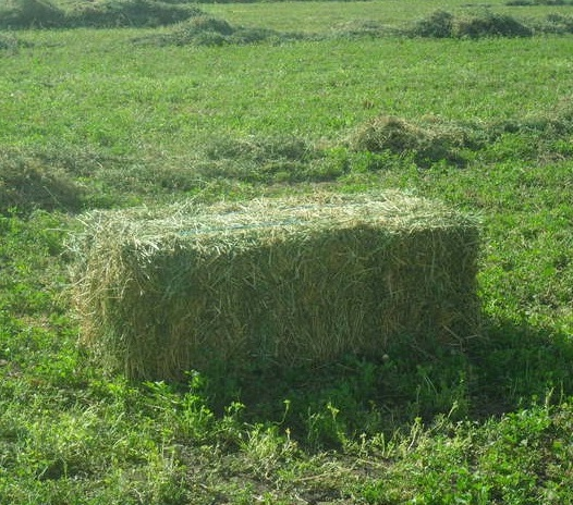 Top Quality Alfalfa hay from kenya