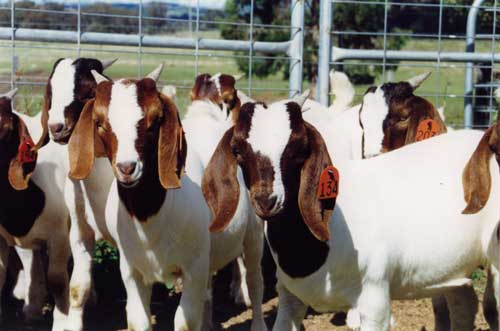 Well checked Boer Goats for sale at very cheap prices