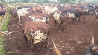 LIVE CATTLE FOR SALE