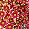 Chrysanthemum Fresh Cut Flower