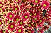 Chrysanthemum Fresh Cut Flower