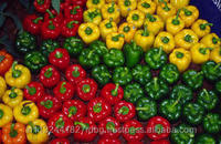 fresh bell pepper india/good quality capsicum/farm fresh red,yellow,red capsicum/bell pepper exporter in india