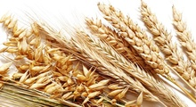 Durum Wheat Grains , Fresh Wheat ,Dried Wheat Grains , Powder Wheat Flour , Hulled Wheat Grains , Milling Wheat Mill ,