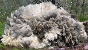 QUALITY RAW LAMB WOOL / LAMB WOOL / SCOURED SHEEP WOOL