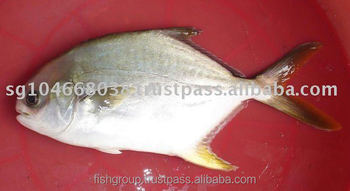 GOLDEN POMPANO OR GOLDEN POMFRET