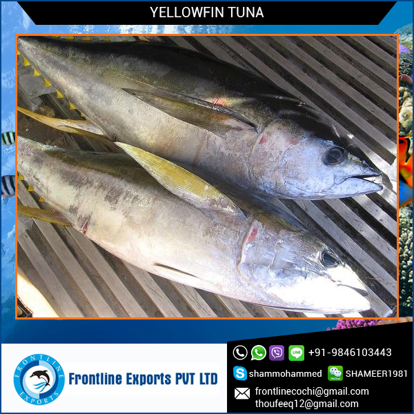 Sushi Frozen Yellow Fin Tuna Loins Fish Supplier from India at Lowest Price