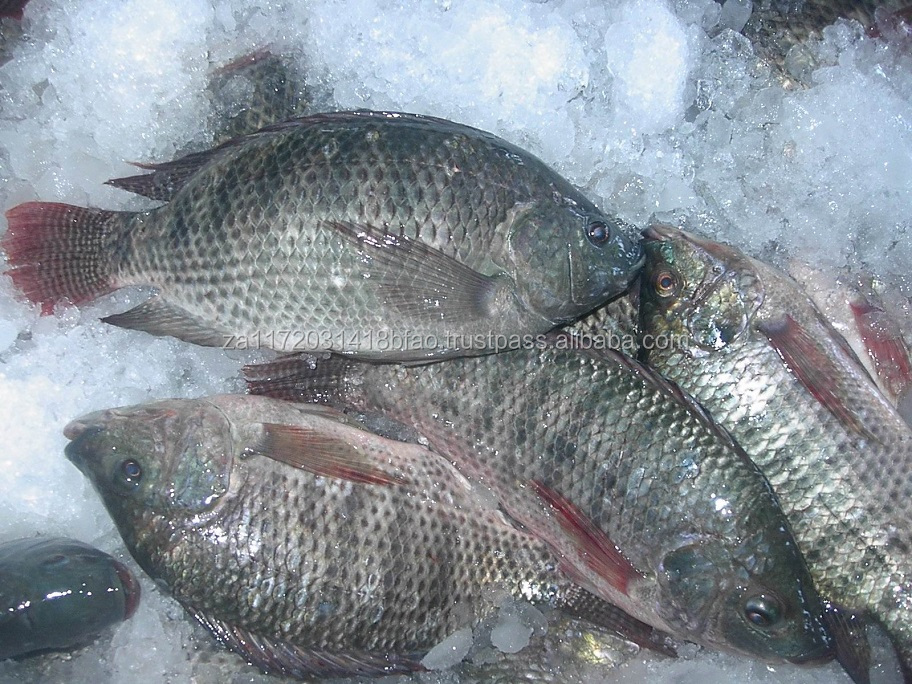 FROZEN TILAPIA FISH IN BULK FOR SALE